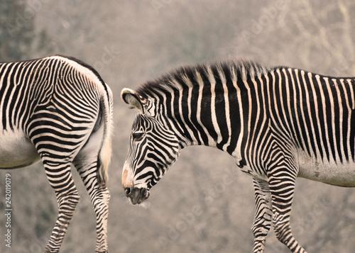 Two zebras - 242019079