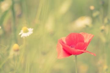 Wild Poppy in a hazy field