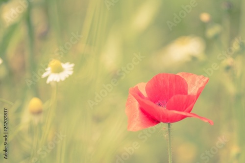 Wild Poppy in a hazy field - 242021837