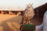 Eagle in the desert of Abu Dhabi