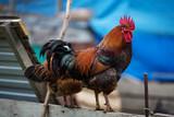 Poultry cock grazes in the barnyard