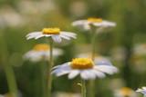 chamomile -  Flowerpower