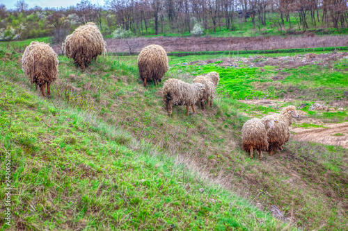 sheep on a pasture om a hill