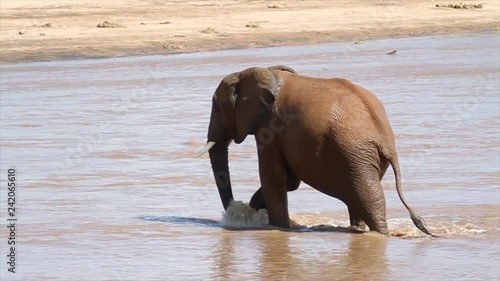 African Elephant in the water from Kenya