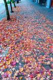 Multicolored Japanese Maple Leaves on Sidewak - 242076019