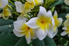 "Постер, картина, фотообои ""frangipani flowers on tree, digital photo picture as a background"""
