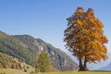 Buche  im Gebirge - 242081280