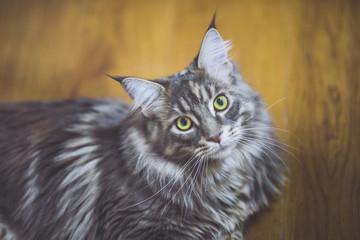 猫 メインクーン © beeboys