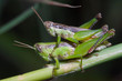 grasshoppers mating on green stick