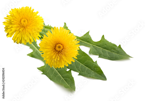 dandelion flowers and leaves - 242096454