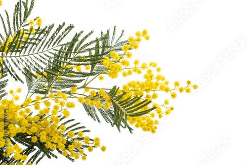 Mimosa - 242097695