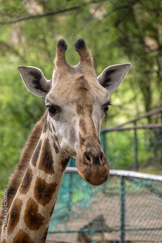 Giraffe in Tsavo East National Park Kenya, Savanne, Wüste, Afrika, Herde, Portait