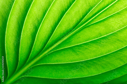 green leaf as background - 242101259