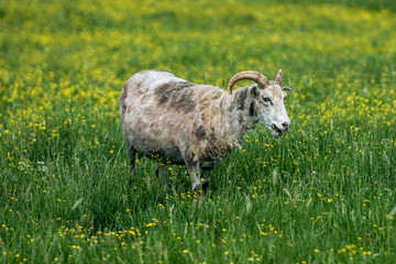 Sheep grazing in a green field filled with yellow flowers