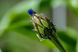 Bud of an unfolded blue cornflower