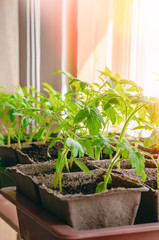 Growing tomato seedlings on the windowsill in peat pots