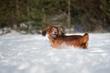 Leinwandbild Motiv red dachshund dog running outdoors in winter