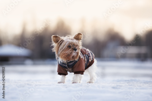 adorable yorkshire terrier dog posing outdoors in winter jacket