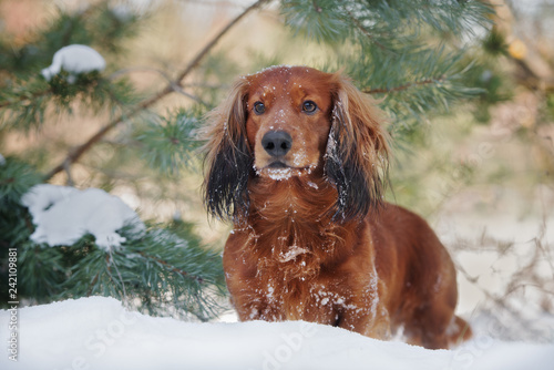 long haired dachshund dog posing outdoors in winter