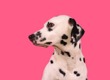 profile of a dalmatian's head against a pink background