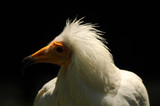 close-up of an adult Egyptian vulture - 242114003