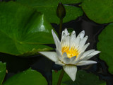 Beautiful white lilies on the dark water, close up. green leaves