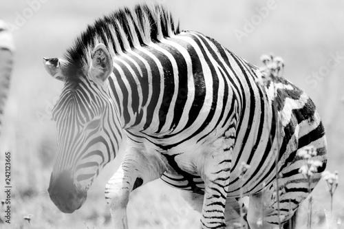 Zebra in natural habitat Getting up in Black and white - 242123665