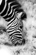 Portrait of Zebra eating Grass in Black and White