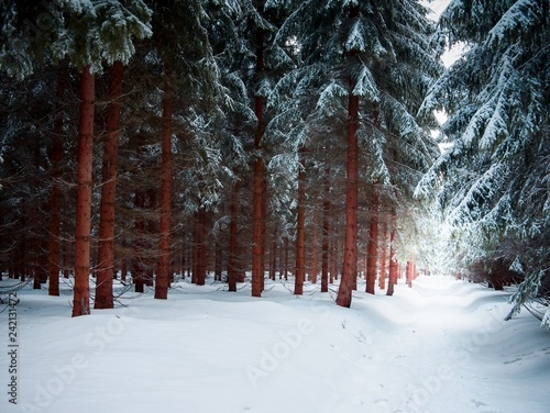 Dark forest path with snow in winter