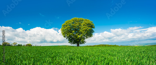 Panorama of Solitary Tree in Green Field under Blue Sky - 242132450