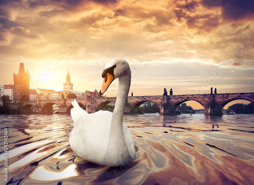 Leinwanddruck Bild Swan near Charles Bridge