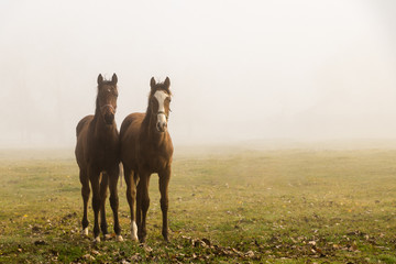 Two young horses on a pasture in the morning fog