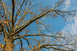 Crown and branches of oak tree without leaves