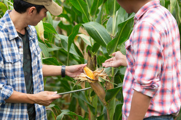 Corn farmers and their customers are reviewing the yield.