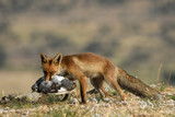 A fox with a prey in the field - 242156448
