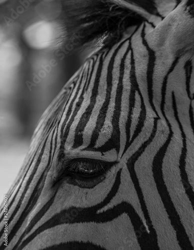 Zebra Black and White - 242161600