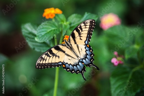 butterfly on flower - 242161675