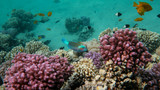 Coral Reef Life Scene, Red Sea