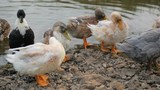 Flock of ducks on a river - 242175029