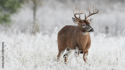 White-tailed deer buck in a frosty meadow just before sunrise in Smoky Mountains National Park.