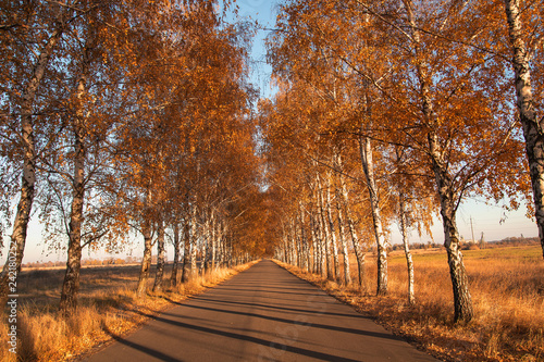 Autumn. Road with birches Empty gravel country road during the fall foliage season, - 242180252