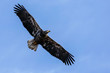 Juvenile Bald Eagle Wingspan