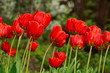 spring, flower bed, flowers, tulips, flora, nature