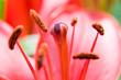 czerwony tulipan makro