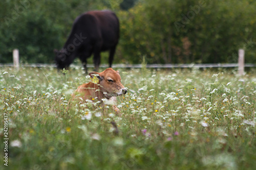 Young calf lying on the Meadow with cow in the background
