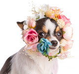 Chihuahua with a flower wreath on