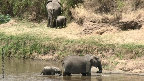 African Elephant (Loxodonta africana) family on the Mara river bank, after crossing the river, throwing sand,Serengeti N.P. Tanzania.