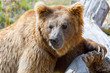 Himalayan brown bear (Ursus arctos isabellinus), also known as the Himalayan red bear, Isabelline bear or Dzu-Teh.