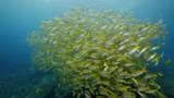 Yellow stripe scad South Andaman - 242228438