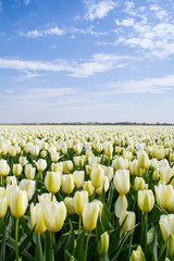 The tulip fields on a beautiful sunny Spring afternoon. Holland/ Netherlands